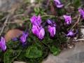 Taenaron_autumn_cyclamens,_Oct_2009[1].jpg
